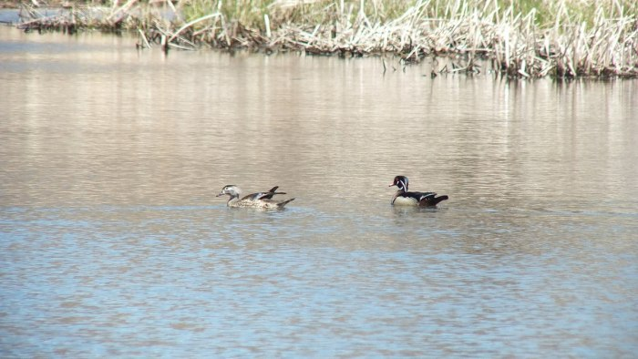 wood ducks at grindstone marsh - hamilton