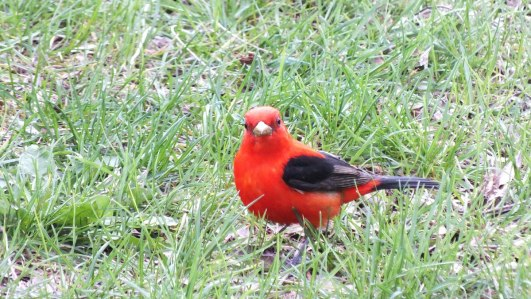 Scarlet Tanager on the grass at Ashbridges Bay Park in Toronto, Ontario, Canada