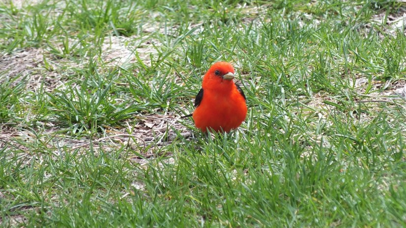 Scarlet Tanager male at ashbridges bay toronto