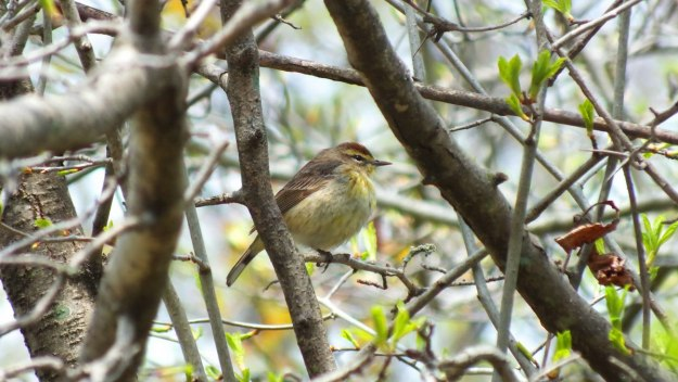 palm warbler in tree - ashbridges bay park - toronto 3