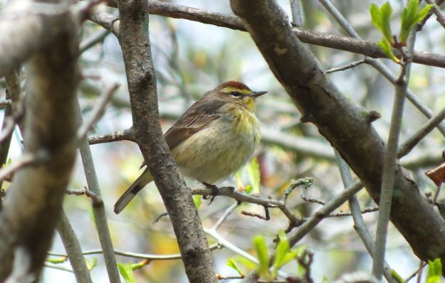 palm warbler in tree - ashbridges bay park - toronto