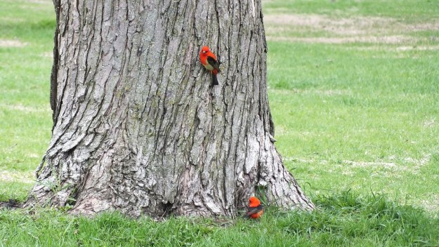 two Scarlet Tanagers at ashbridges bay park - toronto