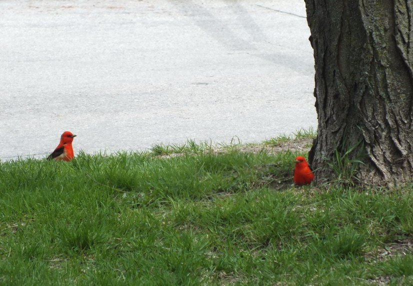 two Scarlet Tanagers on grass at ashbridges bay park - toronto