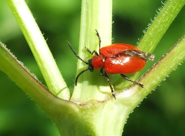 Red lily beetle in toronto garden 4