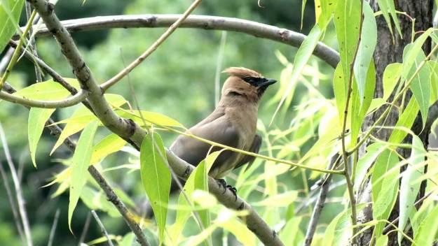 cedar waxwing at milliken park - toronto 12