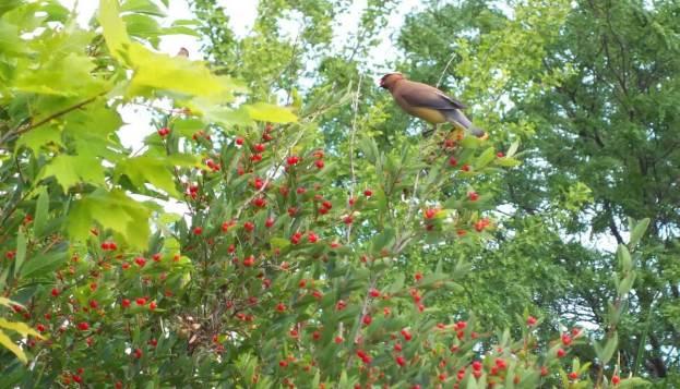 cedar waxwing at milliken park - toronto 15
