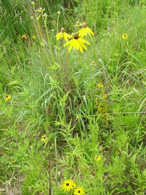 coneflowers at lower reesor pond - toronto 2