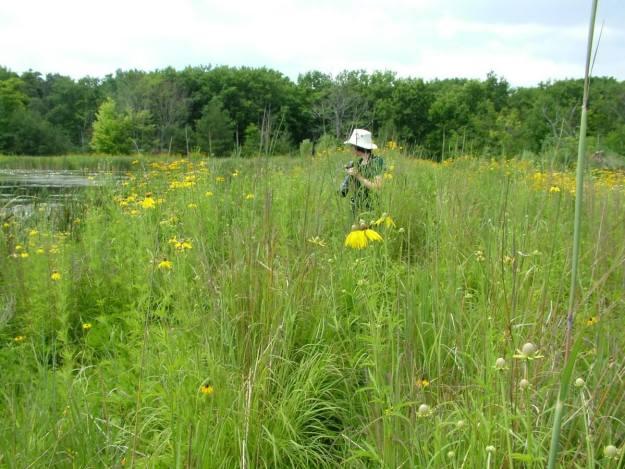 coneflowers at lower reesor pond - toronto 3