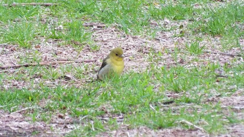 Scarlet Tanager, female, ashbridges bay park, toronto