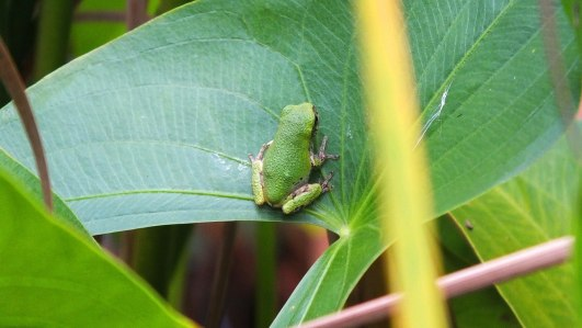 gray treefrog at lower reesor pond - toronto - 3
