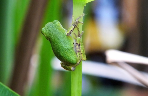 Gray treefrog on a plant stem at Lower Reesor Pond in Toronto, Ontario, Canada