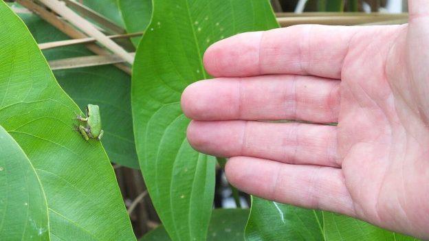 gray treefrog at lower reesor pond - toronto - 9