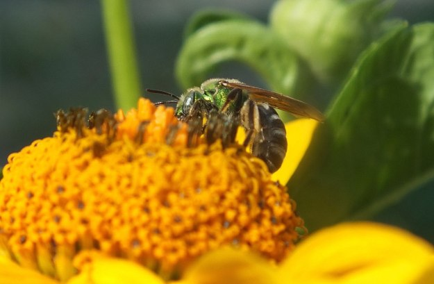green metallic bee collects pollen - toronto - ontario 4