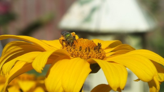 green metallic bee collects pollen - toronto - ontario 5