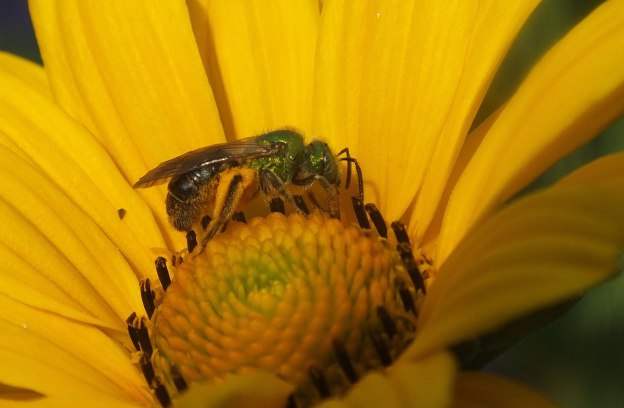 green metallic bee collects pollen - toronto - ontario 6