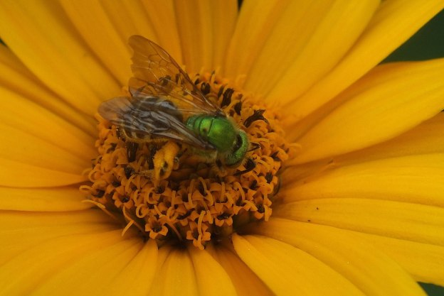 green metallic bee collects pollen - toronto - ontario 8