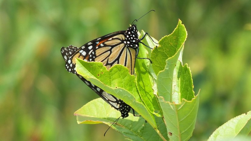 monarch butterflies mating at lower reesor pond - toronto 2