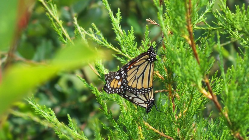 monarch butterflies mating at lower reesor pond - toronto 3