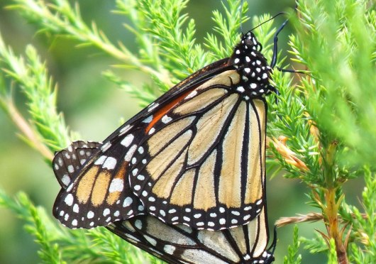 monarch butterflies mating at lower reesor pond - toronto 5