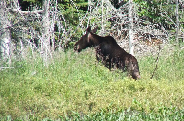 moose cow with her calf in algonquin park - ontario 3