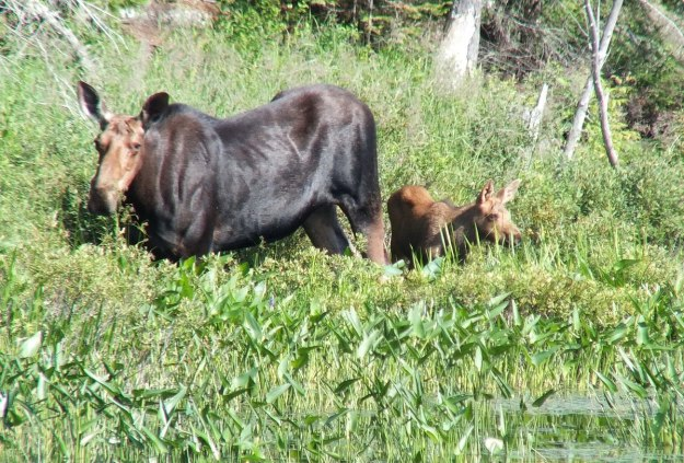 moose cow with her calf in algonquin park - ontario 5