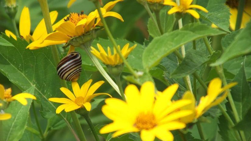 snail on sunchoke at lower reesor pond - toronto