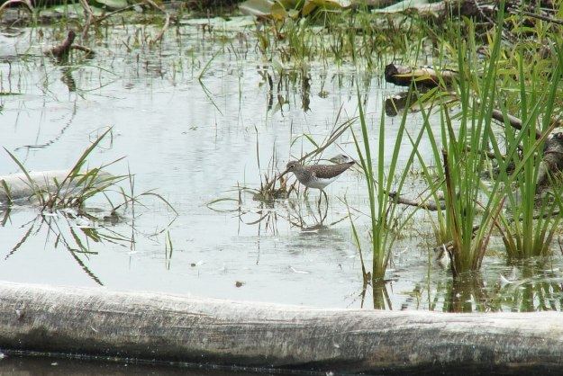 spotted sandpiper at lower reesor pond - toronto 2