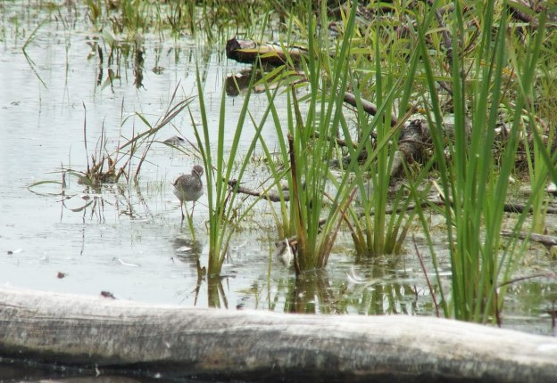 spotted sandpiper at lower reesor pond - toronto 3