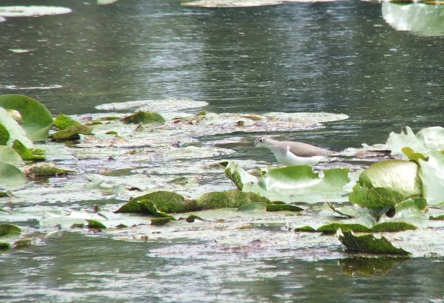 spotted sandpiper at lower reesor pond - toronto 6