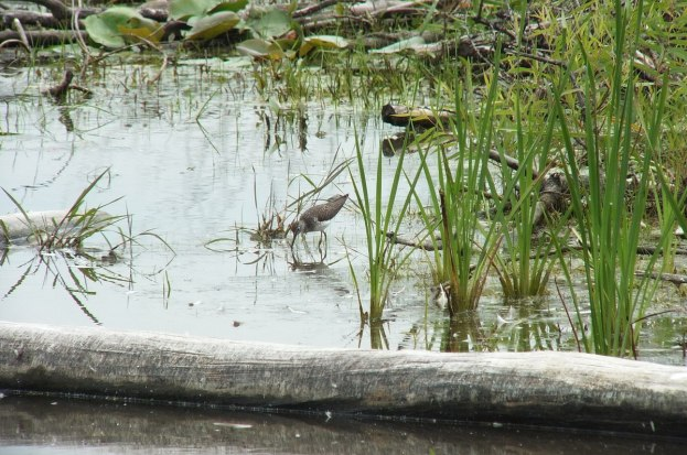 spotted sandpiper at lower reesor pond - toronto