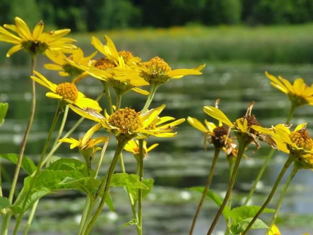 sunchokes growing at lower reesor pond - toronto 4