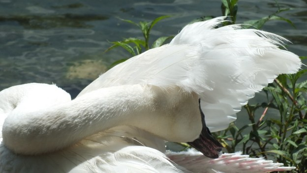 trumpeter swan at milliken park - toronto