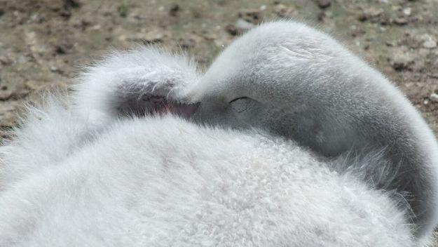 trumpeter swan cygnet at milliken park - toronto 6