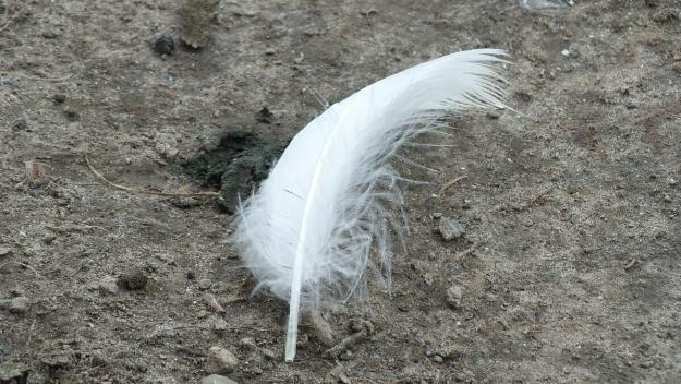 trumpeter swan feather at milliken park - toronto - ontario - july 2014