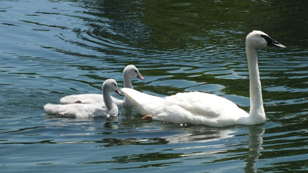 trumpeter swan - female - with two cygnets at milliken park - toronto