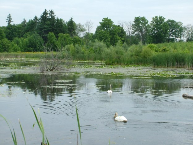 Trumpeter swans at lower reesor pond in Toronto, Ontario, Canada