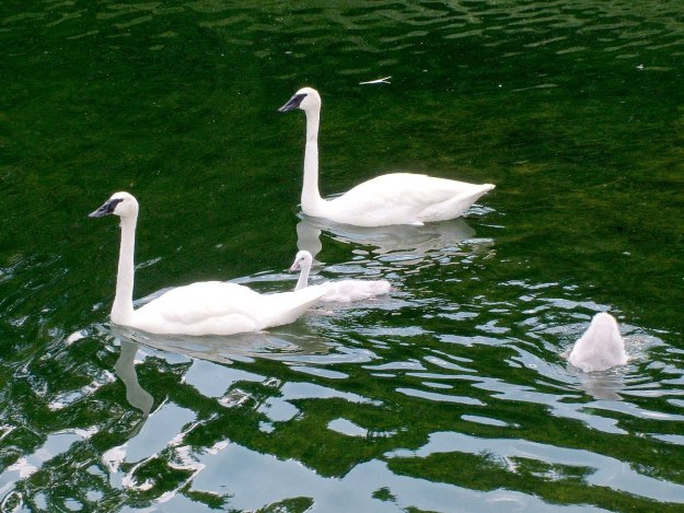 trumpeter swans with cygnets at milliken park - toronto 5