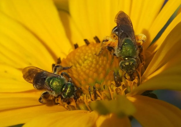 two green metallic bees collect pollen in toronto - ontario