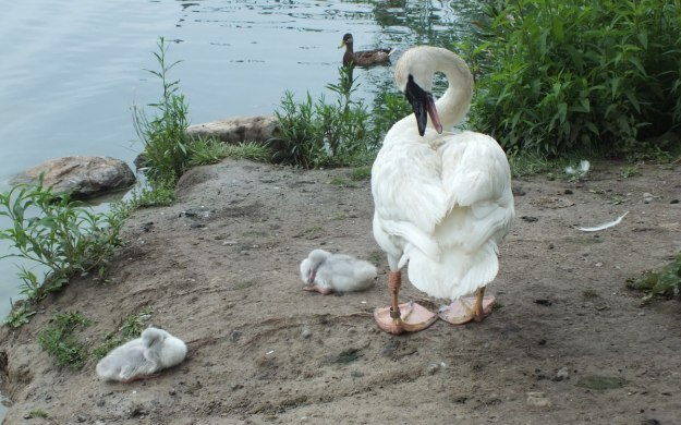 two trumpeter swan Cygnets toronto park 3 - july 2014