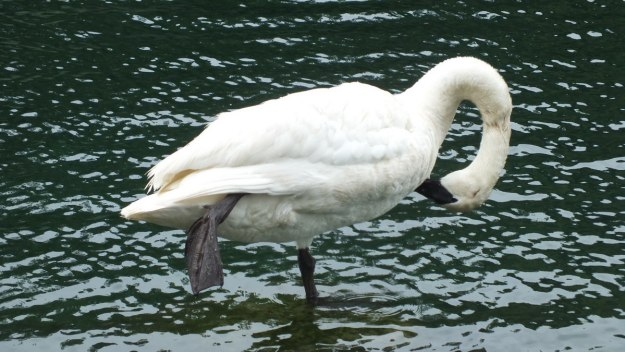 two trumpeter swan in toronto park pond - july 2014