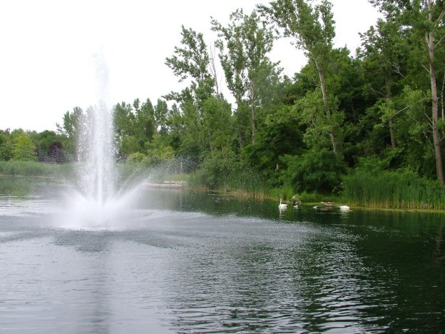 two trumpeter swans with cygnets at toronto park - july 2014