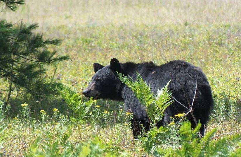 black bear - algonquin park - ontario