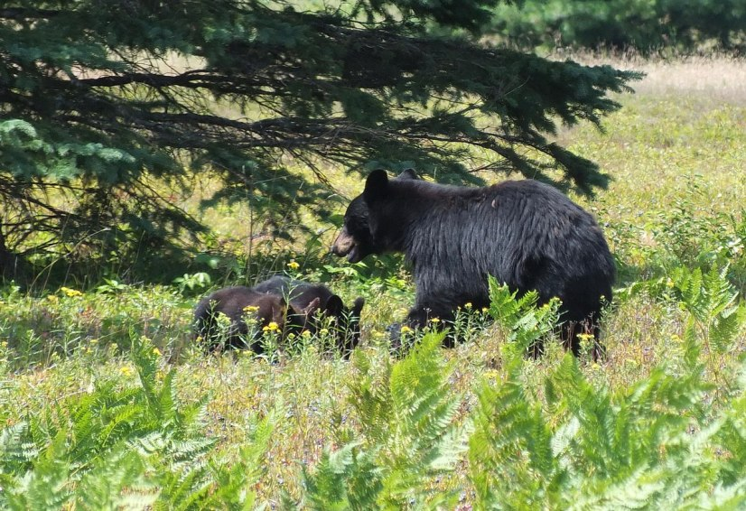black bears eat blue berries - algonquin park - ontario 3
