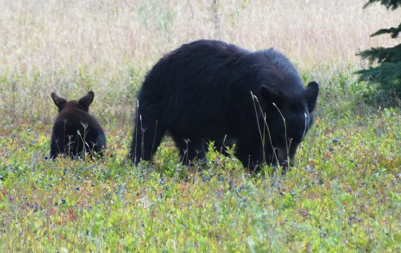 black bears eat blue berries - algonquin park - ontario 5