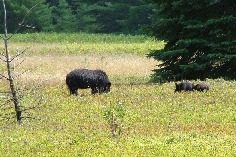 black bears eat blue berries - algonquin park