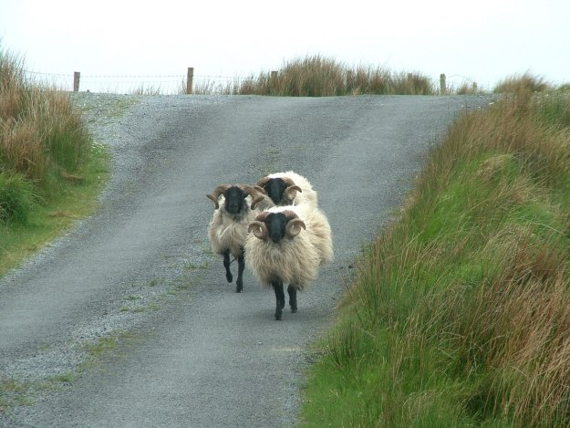black faced sheep along minor road - emlaghdauroe - county galway - ireland