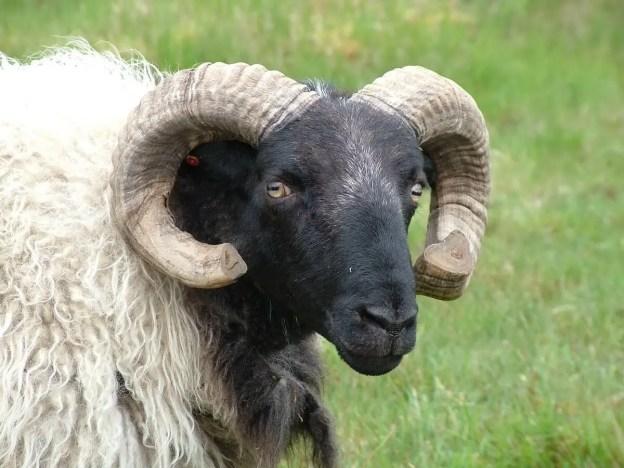 black faced sheep near emlaghdauroe - county galway - ireland