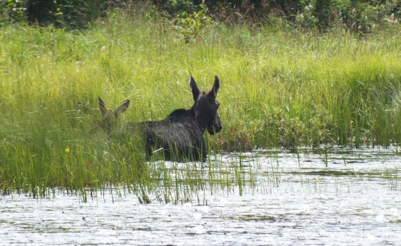 cow moose and calf - march hare lake swamp - mizzy lake trail - algonquin park 1