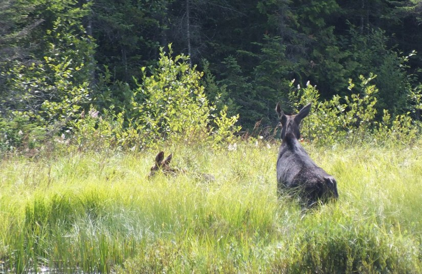 cow moose and calf - march hare lake swamp - mizzy lake trail - algonquin park 4