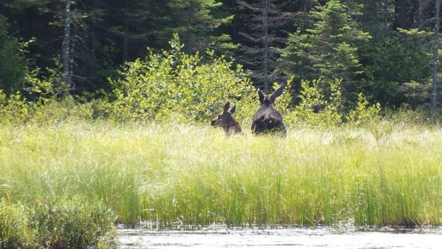 cow moose and calf - march hare lake swamp - mizzy lake trail - algonquin park 5